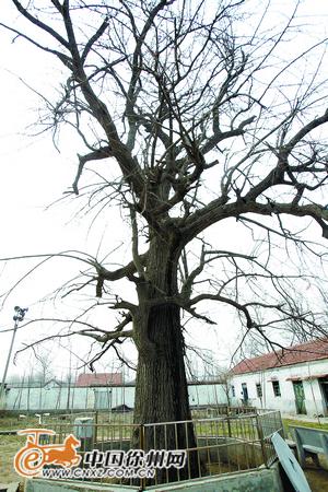 徐州最古老银杏树 植于北魏正光年间