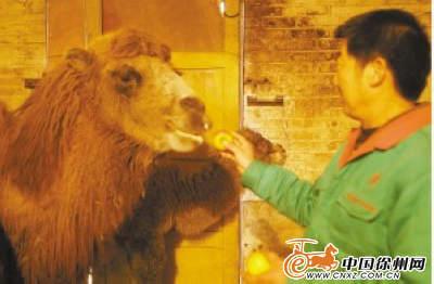 """彭祖园动物园新""""明星""""小骆驼满月与游人见面"""