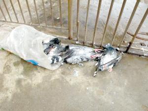 40多只信鸽7楼顶雨夜被盗 死鸽子脖上有明显掐痕