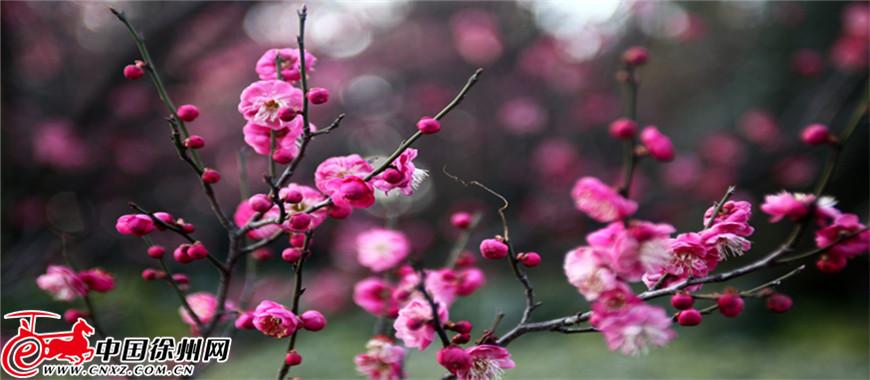 迎春花开不算春 杏花开了春才到